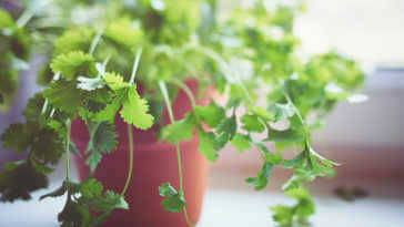 Fresh green Cilantro in pot by the window.