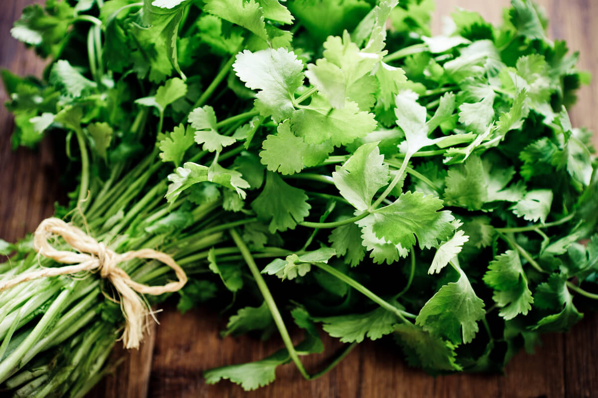 bunch of fresh cilantro tied together