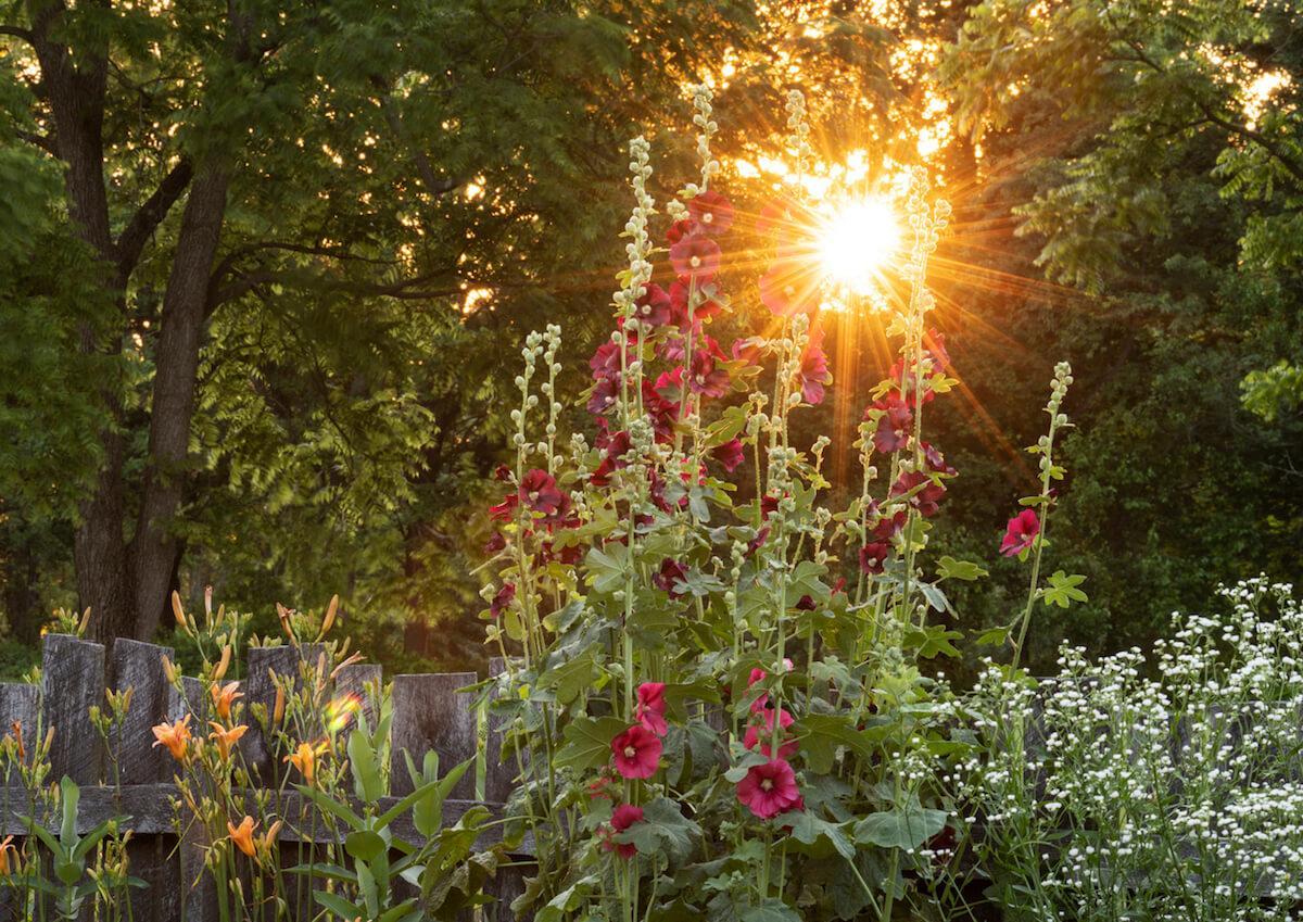 Hibiscus garden at sunset.
