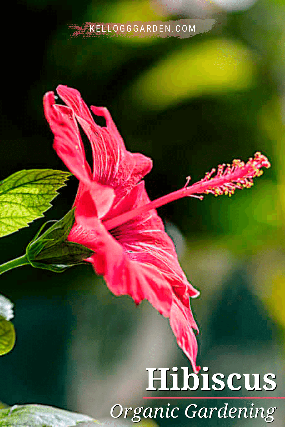 close up of red hibiscus flower.