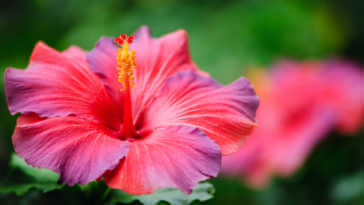 A red and purple hibiscus.