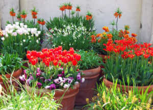 Large group of flower pots filled up with tulips and snowdrop plants.