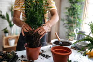 A person putting plants into pots