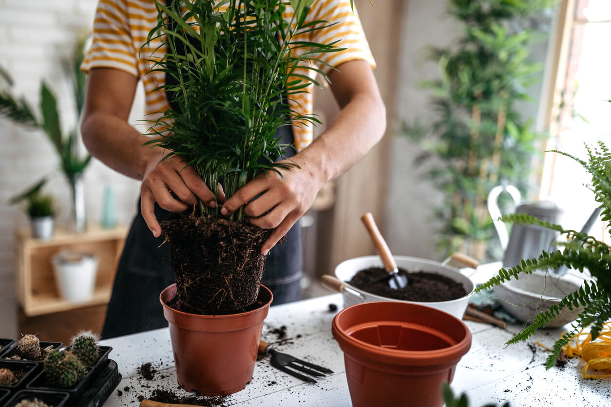 A person putting plants into pots