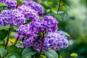 Purple Hydrangea flowers in a garden