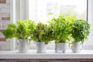 Fresh aromatic culinary herbs in white pots on windowsill.
