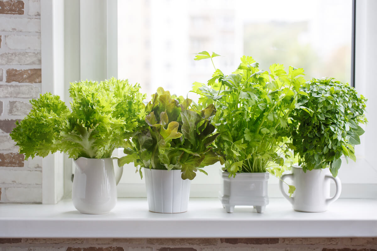 Fresh aromatic culinary herbs in white pots on windowsill.