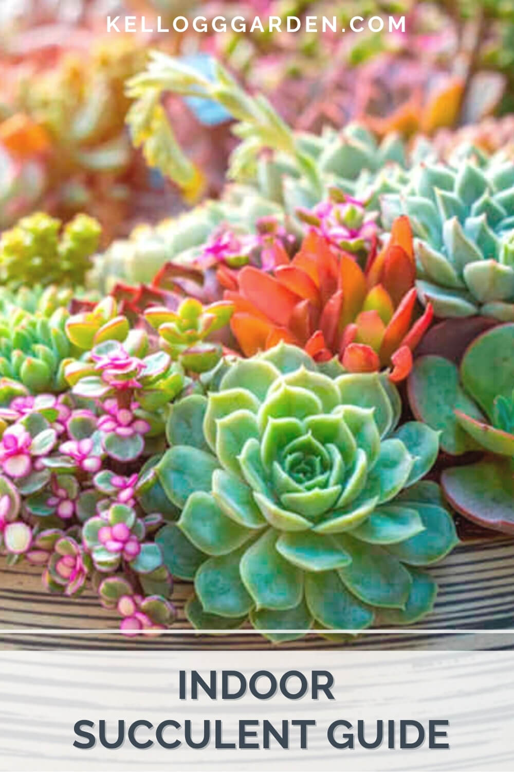 Colorful succulents in a pot