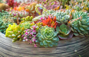 Miniature succulent plants in a planter.