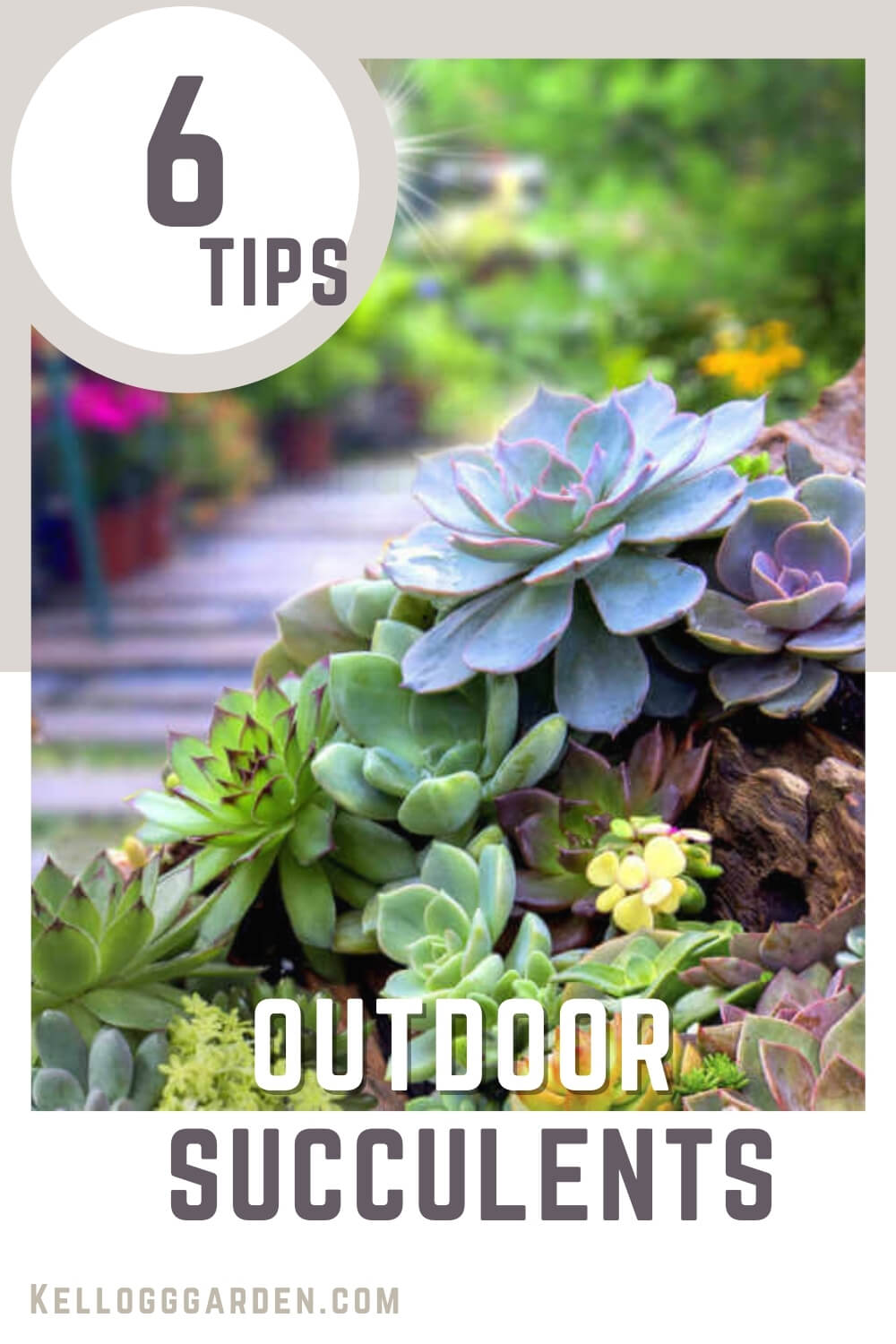 Succulents with text '6 tips outdoor succulents'