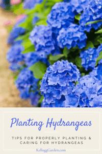 Vibrant blue hydrangeas in garden.