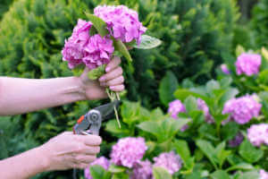 Woman is cutting a bouquet of hydrangea flowers hydrangeas with hedge clippers
