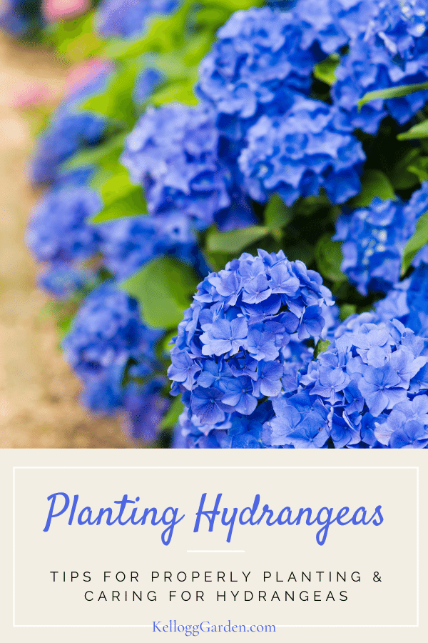 Vibrant blue hydrangeas in garden.