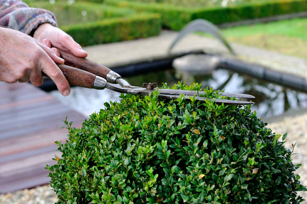 hands use a traditional hedge trimmer to trim the leaves of a buxus or boxwood plant