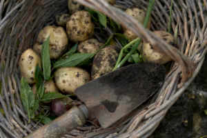 Earthy, rustic image of newly harvested garden produce lying in a wicker basket
