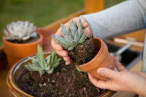 Planting succulents into a clay pot.