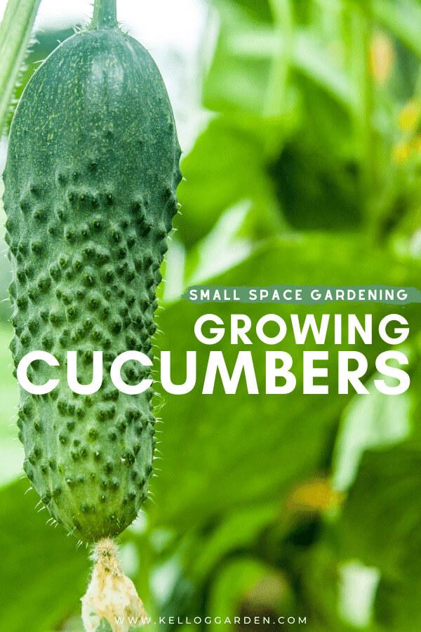 large cucumber hanging on stem