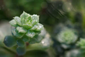 closeup of succulent plant with raindrops