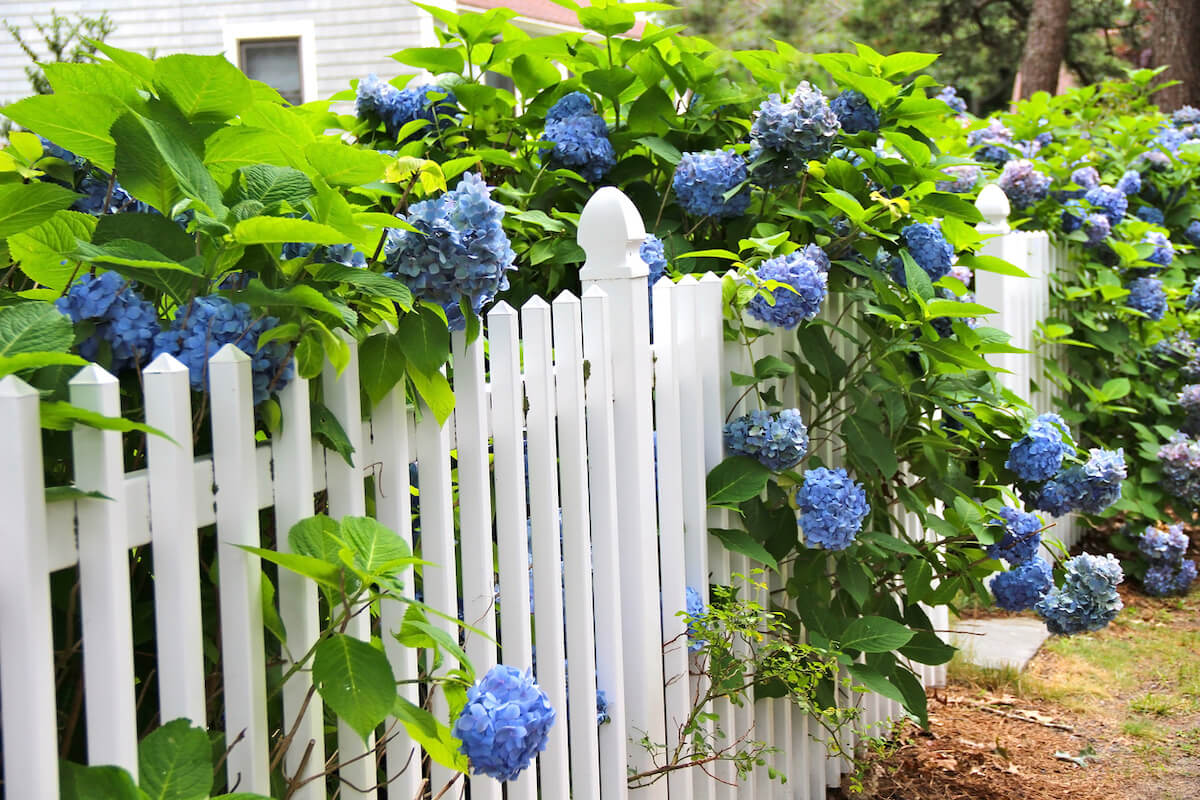 Blue hydrangea along the white fence. In the distance cottage