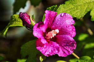 Hibiscus syriacus with water drops.