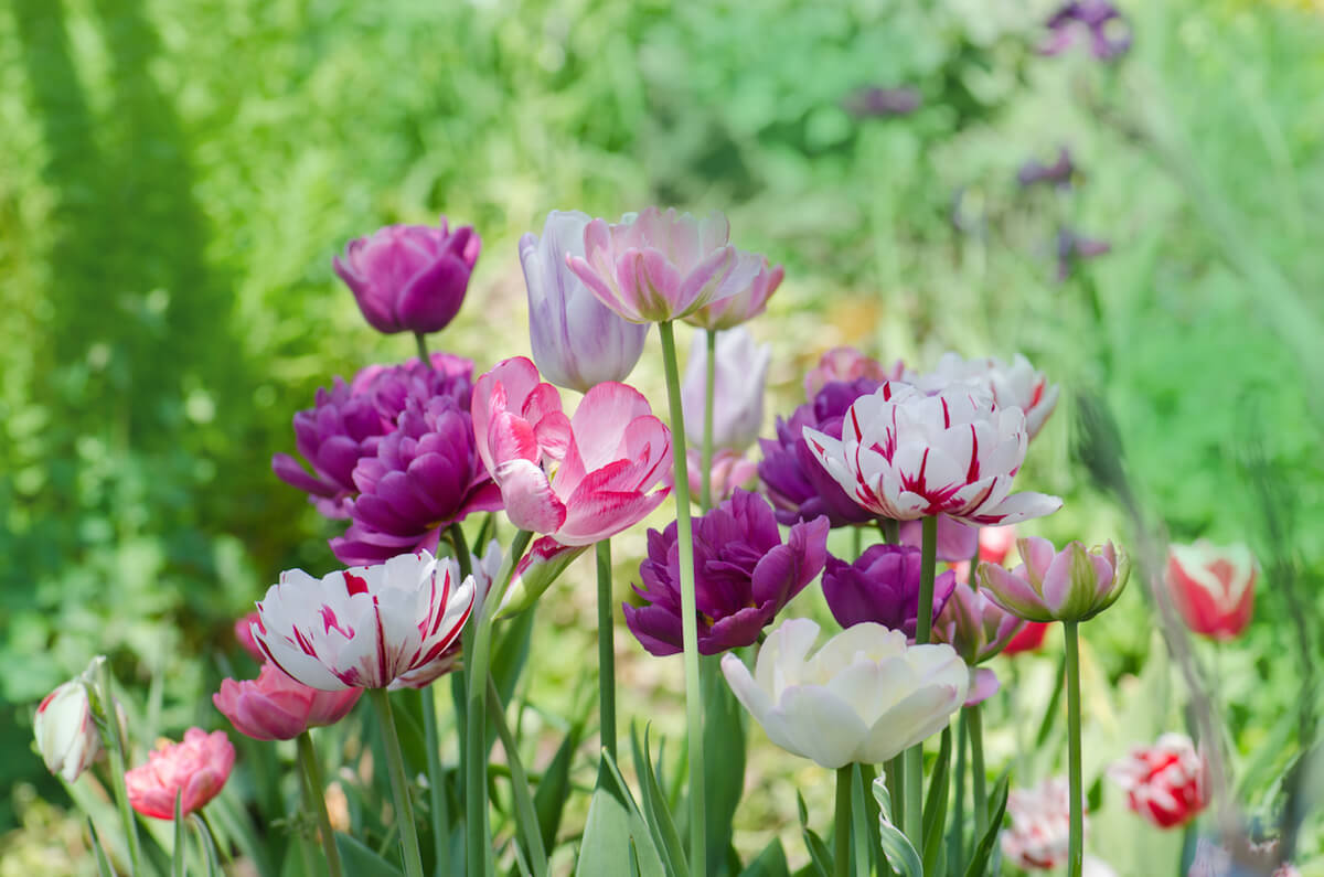 Pink, purple, and multicolored tulips growing in a field.