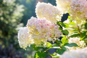 Blooming shrub white hydrangea flowers.