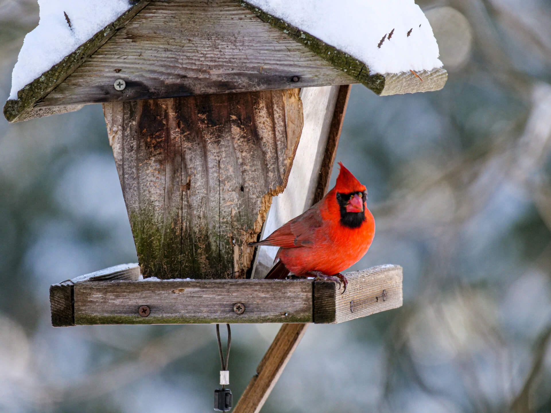 Male red Cardinal perched on a wooden bird feeder.