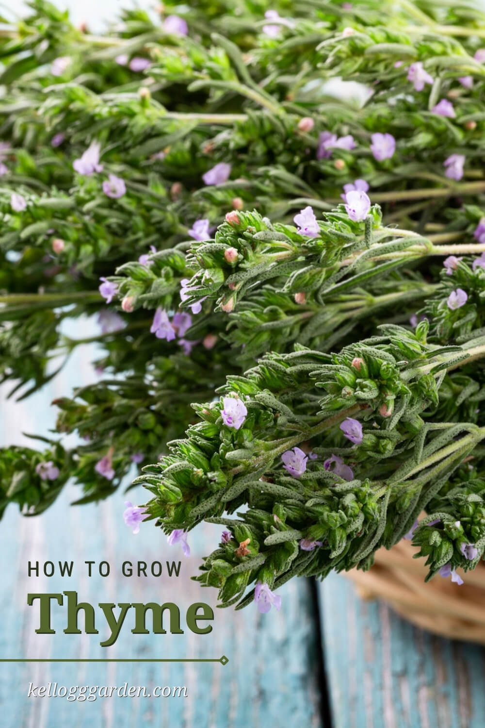 Beautiful Thyme with Flower Buds