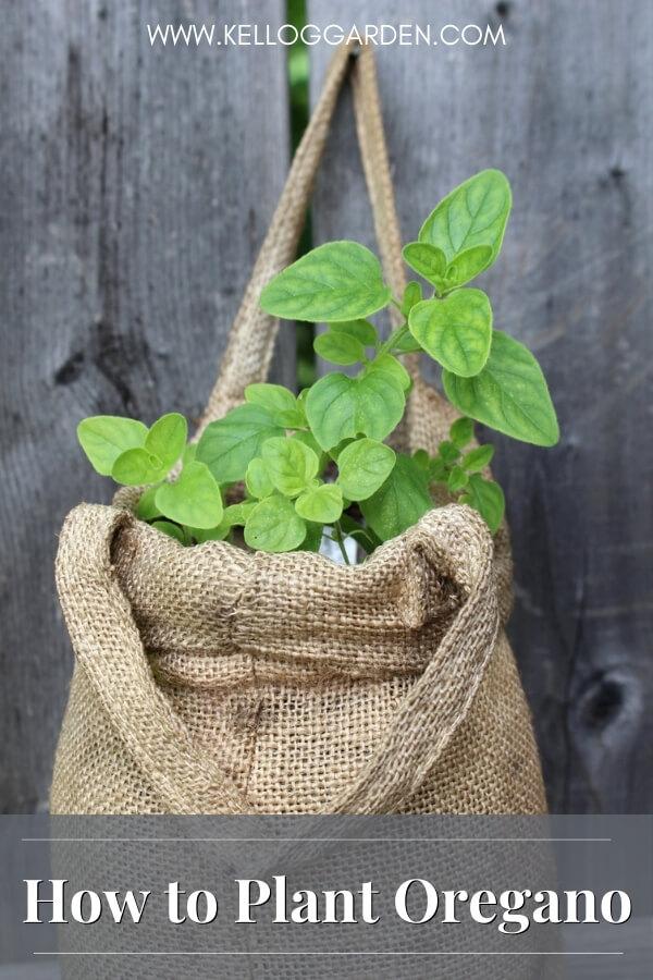 Oregano growing in Felt Bag
