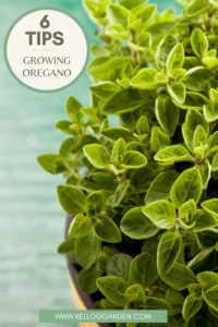 Bright Green Oregano Growing In Pot