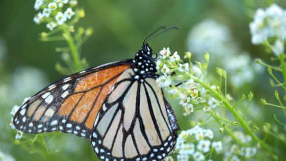 A Monarch Butterfly lands on Alyssum in a garden.