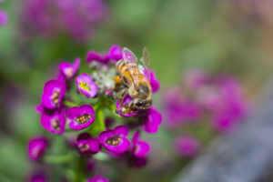 Bee on purple Alyssum flowers.