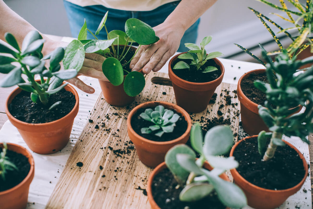 Young woman gardening indoors, repotting succulent plants.