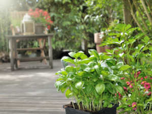 pot of basil on a wooden terrace