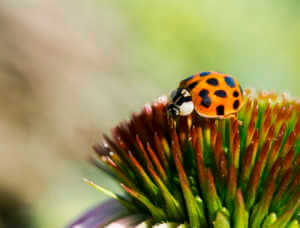 Close up of a ladybird on a coneflower