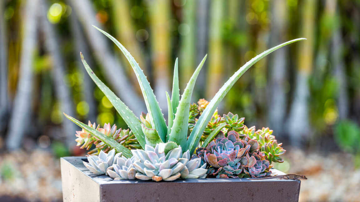 Closeup of green succulents in potted landscaping decoration.