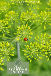 tiny ladybug rested on dill flowers in garden.