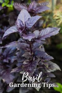 tall purple basil plant