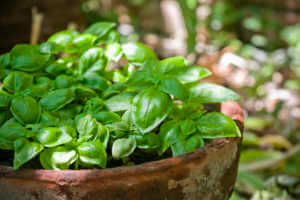 Fresh basil growing in an old terracotta pot outdoors.