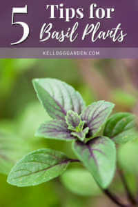 green basil plant growing in the garden