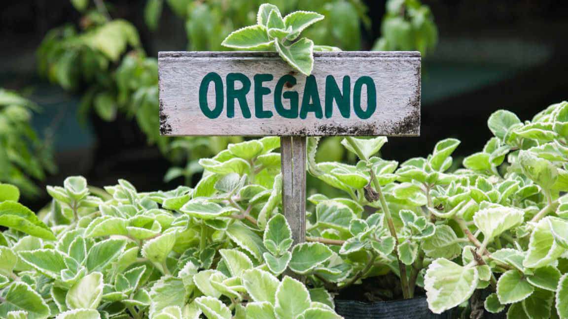 Wild oregano growing in a garden with an oregano sign.