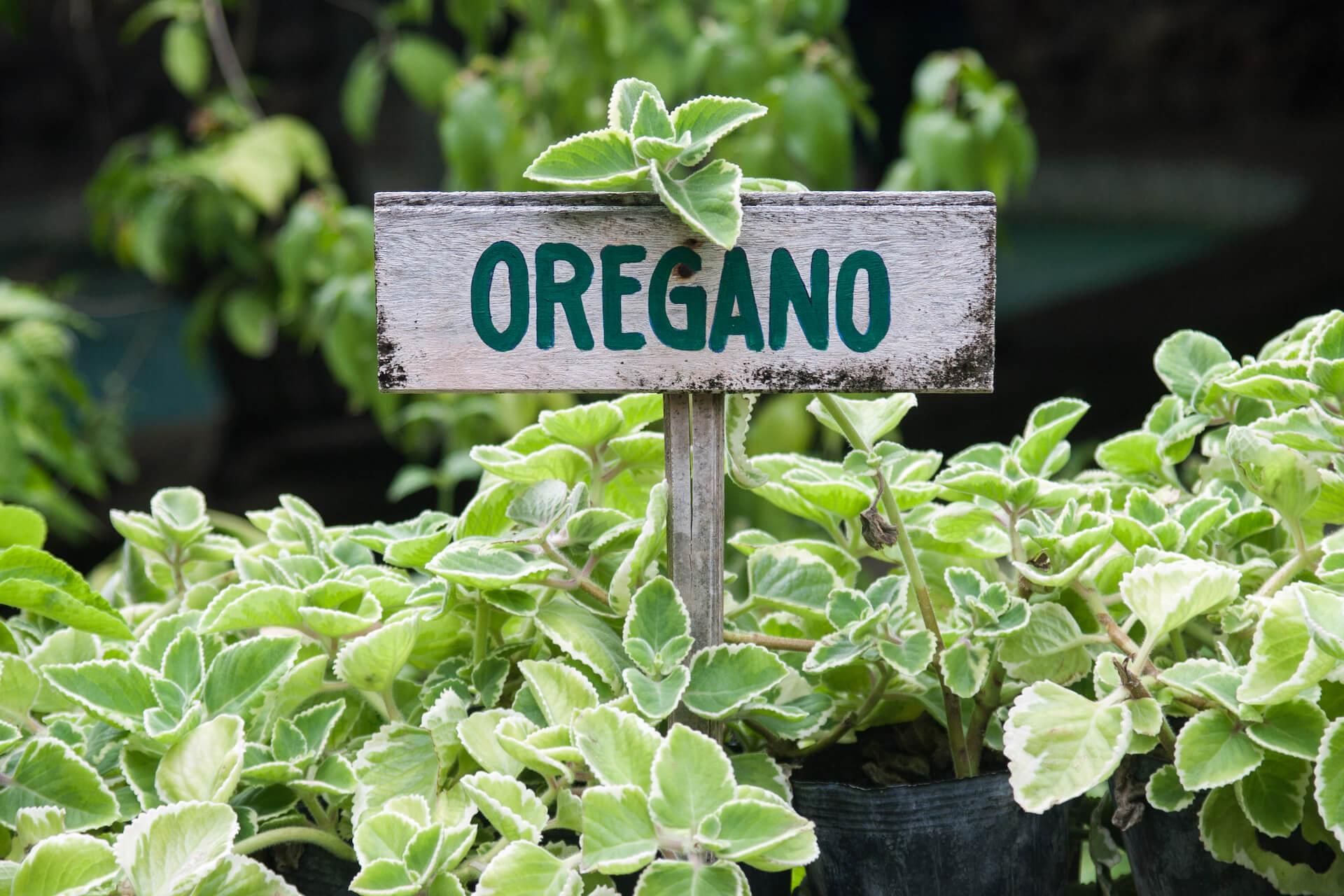 Wild oregano growing in a garden with an oregano sign.