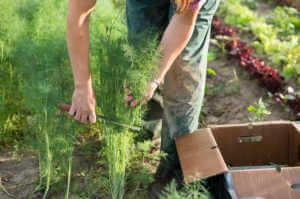 Farm worker harvesting dill at an organic farm.