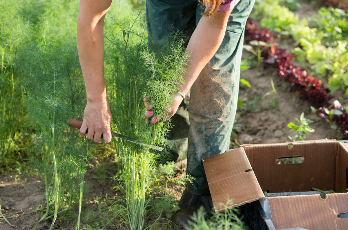 Farm worker harvesting dill at an organic farm.