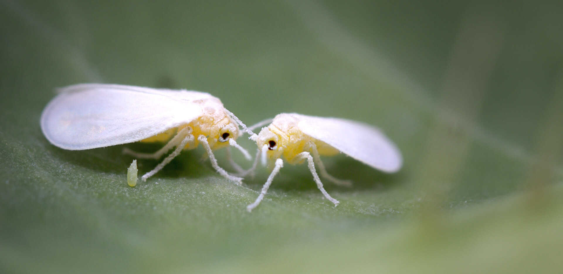 Two whiteflies resting on a leaf.