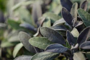 growing sage in outdoor herb garden