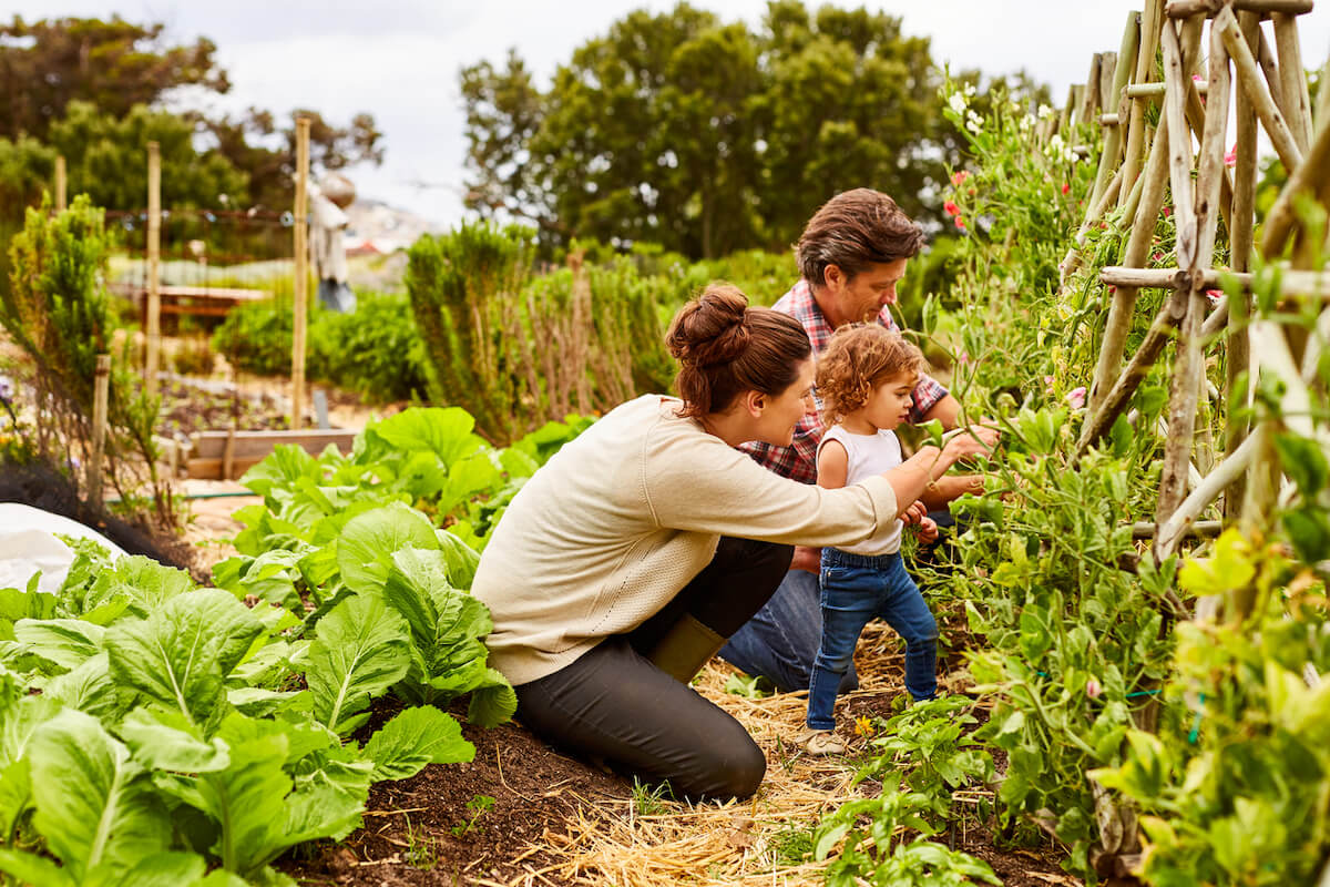 mature couple with their little daughter working in an organic garden