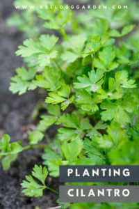 cilantro growing in the ground