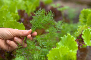hand of woman with fresh dill in the vegetable garden.