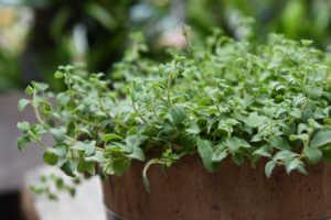Oregano plant in large round planter.
